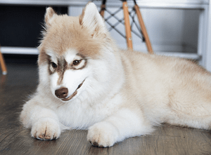 Helpful Tips for Taking Care of a New Siberian Husky Puppy